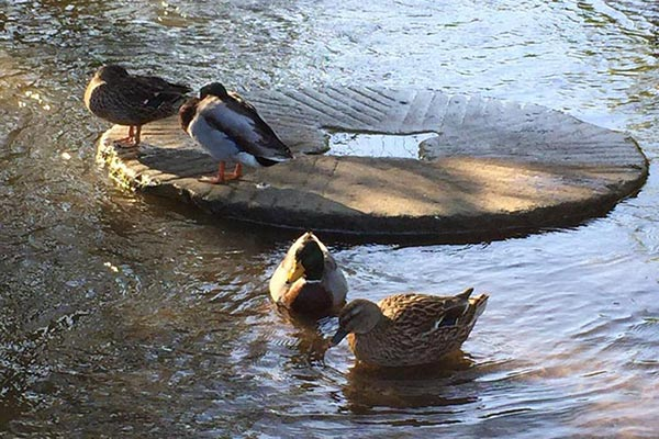 Ducks and Millstone